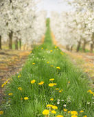 Beautiful nature in the cherry orchard — Stock Photo