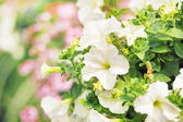 Flourish white flowers in the summer garden — Stock Photo