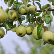 Stock Photo: Pears hung on tree