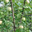 Stock Photo: Apples hung on tree