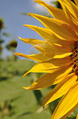 Sunflower and fuzz — Stock Photo