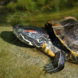 Old terrapin — Stock Photo