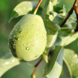 Stock Photo: Pear hung on tree