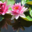 Foto Stock: Two water lily