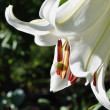 Stock Photo: Part to lilies white