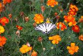 Butterfly podalirius — Stock Photo