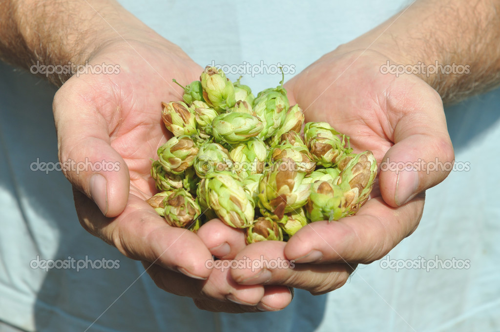 Hands of the brewer and green hop — Stock Photo #13443629