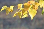 Autumn leafs birch on branch — Stock Photo