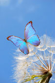 Blue butterfly on dandelion — Stock Photo