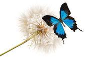 Blue butterfly on dandelion — Stock Photo