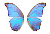 Blue butterfly wing — Stock Photo