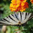 Butterfly podalirius — Stock Photo