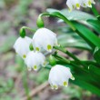 White  snowdrop - Stock Photo