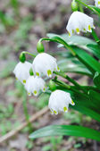 White snowdrop — Stock Photo