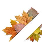 Leaf maple on white background — Stock Photo