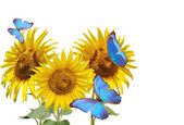 sunflowers and blue butterfly  — Stock Photo