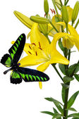 Yellow lily and butterfly — Stock Photo