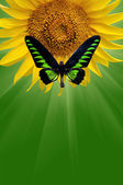Butterfly and  sunflower — Stock Photo