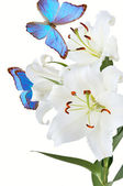 White lily and blue butterfly — Stock Photo