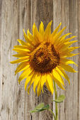 sunflower on background of the old wooden fence — Foto de Stock