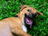Funny dog smile — Stock Photo