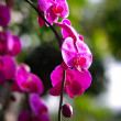 Pink orchid in the garden — Stock Photo