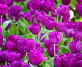 Tulipán colorido — Foto de Stock