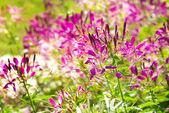 在花园中的紫罗兰花 — 图库照片