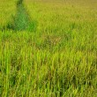 Royalty-Free Stock Photo: Rice in the farm