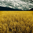 Golden rice field with mountain and cloud background — Stock Photo