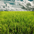 Green rice field with raining cloud — Stock Photo #17339223