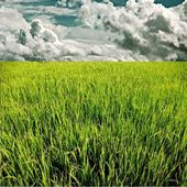 Green rice field with raining cloud — Stock Photo