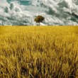 Tree in golden rice field — Stock Photo #17340225