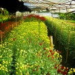 Stock Photo: Flower farm nursery in green house