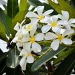 White flower Frangipani, Plumeria — Stock Photo