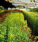 Flower farm nursery in green house — Stock Photo