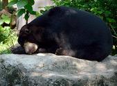 сонный медведь на камне — Стоковое фото