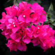 Stock Photo: Bougainvillea, Pink paper flower