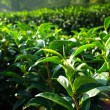 Tea tree farming on hill — Stock Photo #19439059
