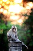 Monkey wild animal sitting on column with sunset background — Stock Photo