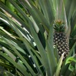Pineapple in farm, Agriculture in Thailand — Stock Photo