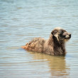 Stray dog in the water — Stock Photo