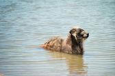 Perro callejero en el agua — Foto de Stock