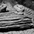 Reptile animal in zoo — Stock Photo #25025647