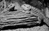 Reptile animal in zoo — Stock Photo