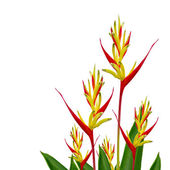 Parrot Heliconia islated on white background — Stock Photo