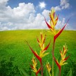 Parrot Heliconia with field background — Stock Photo