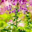 Violet flower in garden — Stock Photo