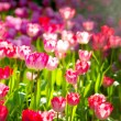 Nice Tulip garden — Stock Photo