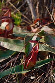 Nepenthes plant — Stock Photo